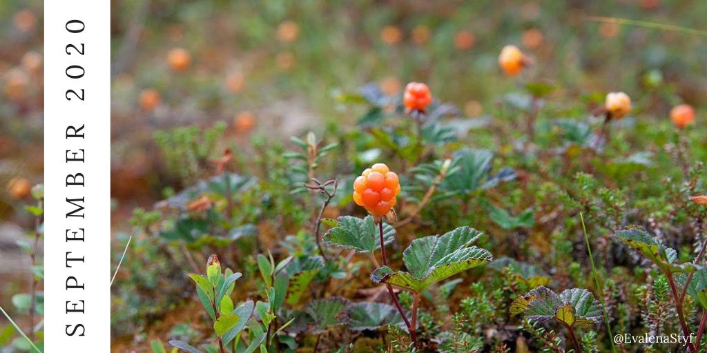 Cloudberries in september
